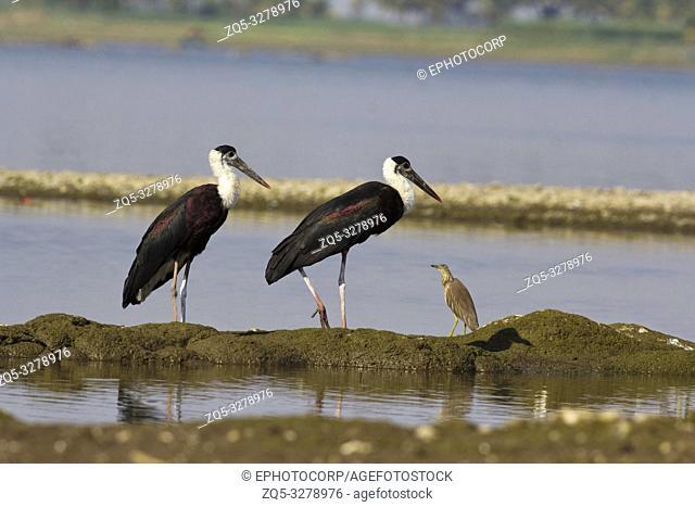 Wooly necked stork, Bhigvan, Pune, Maharashtra, India