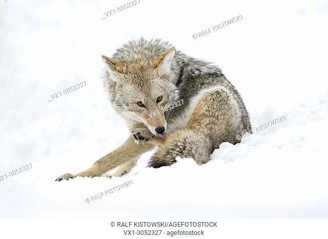 Coyote ( Canis latrans ) in winter, sitting in snow, licking its fur and its paws with the tongue, watching, looks funny, Yellowstone NP, Wyoming, USA