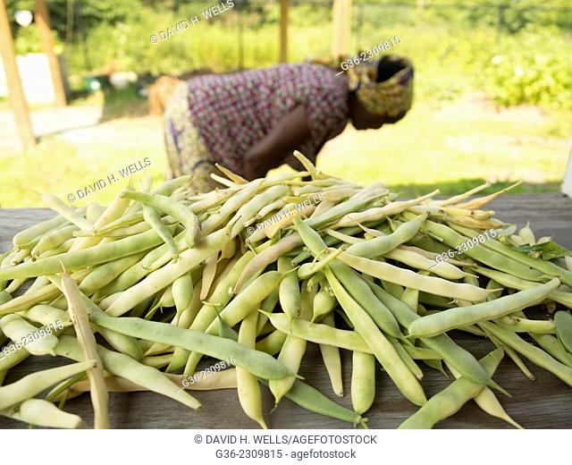 Farmer cleaning golden wax bush beans at Manton Bend Community Garden in Providence, Rhode Island