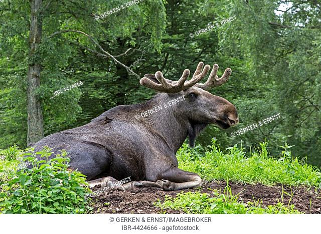 European elk (Alces alces) lying on the ground, Sweden