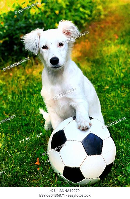 happy whappy white puppy with black and white ball on the summer garden background