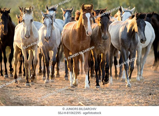 Pure Spanish Horse, Andalusian. Herd of juvenile stallions walking on sandy ground. Spain