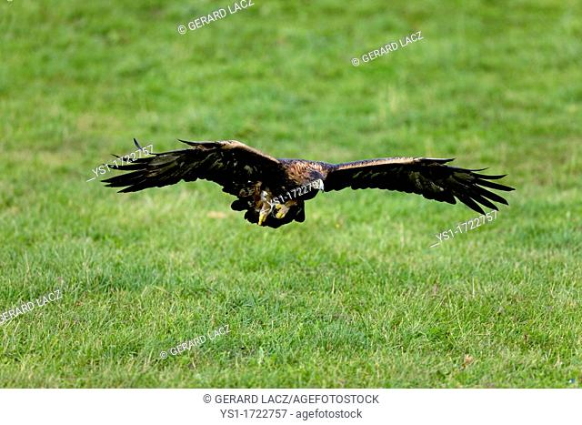 Golden Eagle, aquila chrysaetos, Adult in Flight