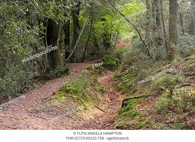 Footpath in mixed deciduous woodland with ancient ditches, largest spring-sapped valley in Britain dating back to Mesozoic period, Devil's Punch Bowl, Hindhead