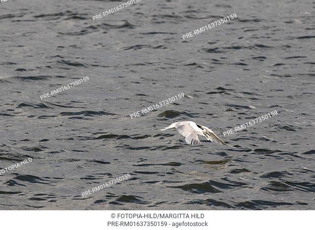 Sandwich tern, Thalasseus sandvicensis, Wangerooge East, Wangerooge, Friesland district, Lower Saxony, North Sea, Germany, June 2016 / Brandseeschwalbe