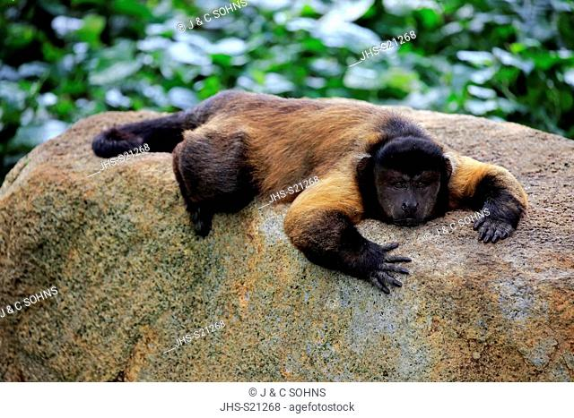 Brown Capuchin, tufted capuchin, black-capped capuchin, (Cebus apella), adult resting, South America