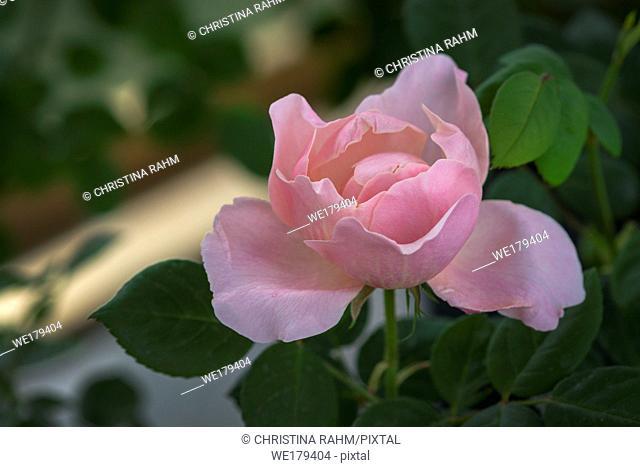 Beautiful rose flowers closeup. Spring garden series, Mallorca, Spain