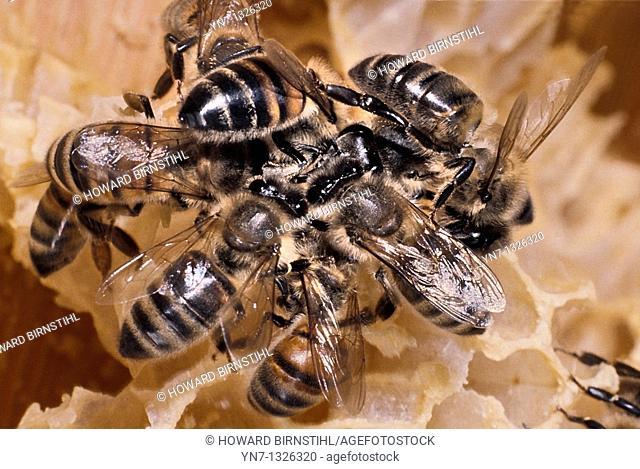 Close up of bees Genus Apis on honeycomb