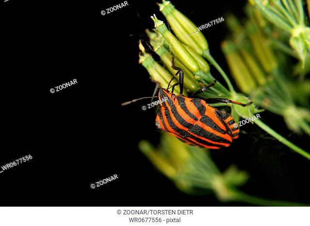 Strip bug Graphosoma lineatum