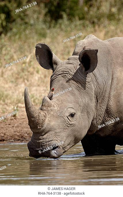 White rhinoceros Ceratotherium simum with a red-billed oxpecker Buphagus erythrorhynchus, Kruger National Park, South Africa, Africa
