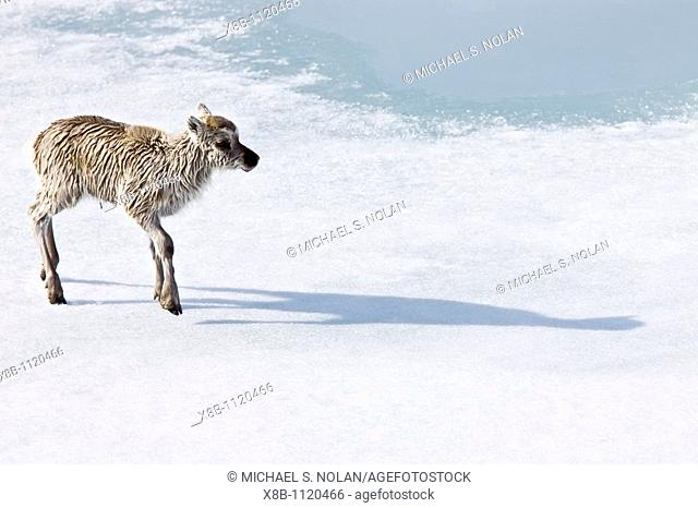 A stranded Svalbard reindeer fawn Rangifer tarandus platyrhynchus on first-year ice floe at Monaco Glacier in Wood Fjord on Spitsbergen Island in the Svalbard...