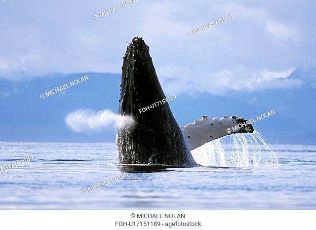 Humpback Whale Megaptera novaeangliae Adult breaching. Icy Strait, Southeast Alaska, USA. Pacific Ocean