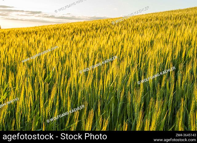 Evening light on a wheat field near Pullman in Whitman County in the Palouse, Eastern Washington State, USA