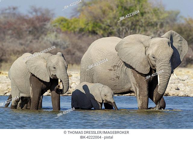 African elephant (Loxodonta africana) cow with two calves at waterhole, Etosha National Park, Namibia