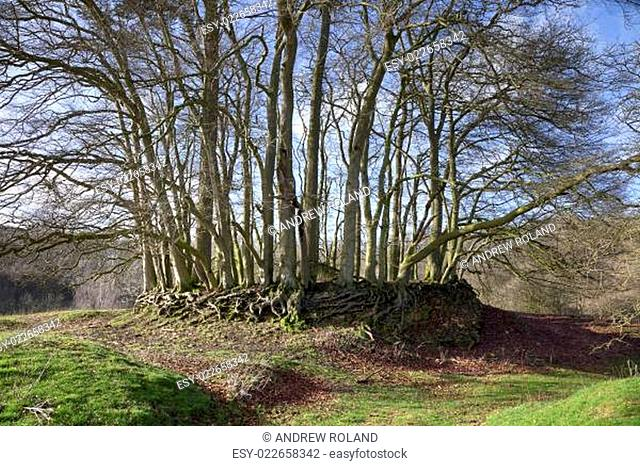 Ring of Beech trees