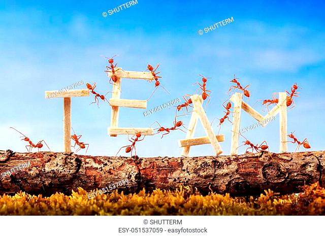 Ants carrying wording team, teamwork concept