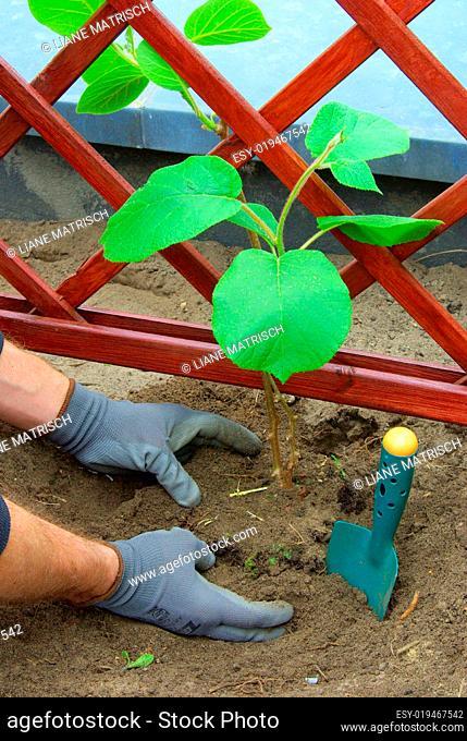 Kiwipflanze pflanzen - planting a kiwi plant 05