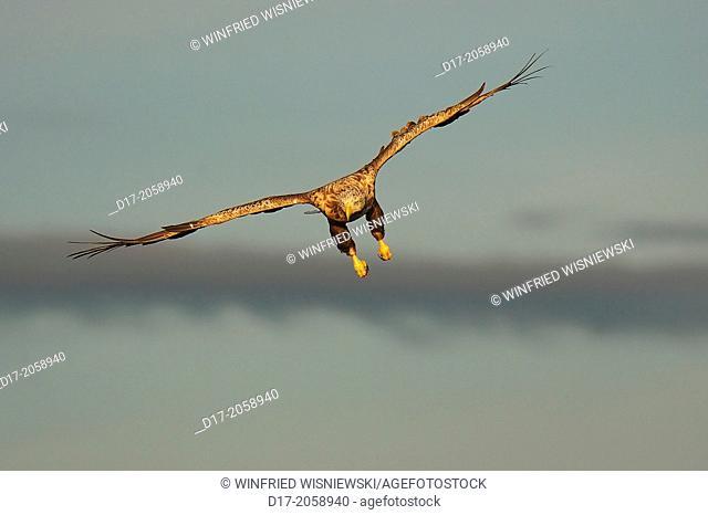 White-tailed sea eagle in flight (Haliaeetus albicilla). Flatanger, Norwegen