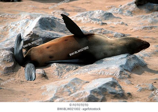 South African fur seal, Cape fur seal Arctocephalus pusillus