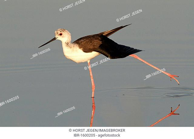 Black-winged Stilt or Common Stilt (Himantopus himantopus)