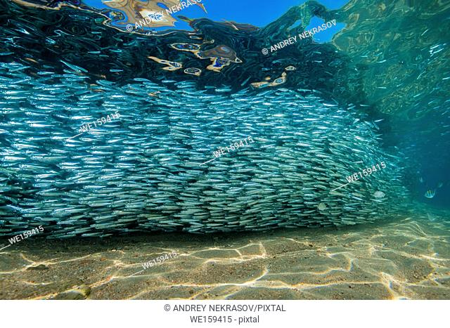 Massive school of fish in shallow water