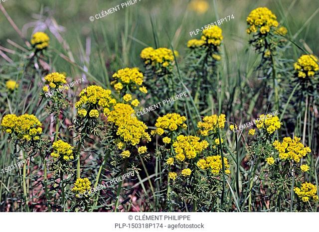 Cypress spurge (Euphorbia cyparissias) in flower
