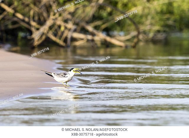 An adult large-billed tern, Phaetusa simplex, eating a fish near Porto Jofre, Mato Grosso, Brazil
