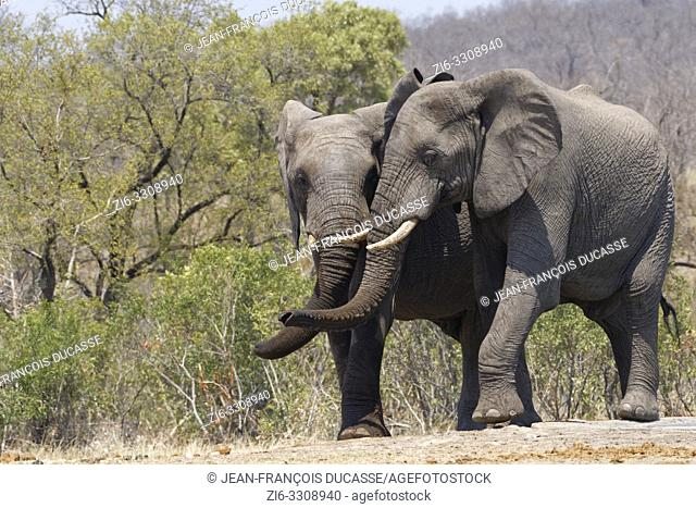 African bush elephants (Loxodonta africana), two playful elephant bulls standing side by side at a waterhole, Kruger National Park, South Africa, Africa