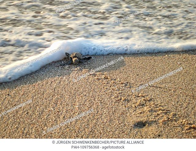 A freshly hatched Green Sea Turtle (Chelonia mydas) is received by the surf at dawn on a protected stretch of beach near Ras al-Jinz (Oman)