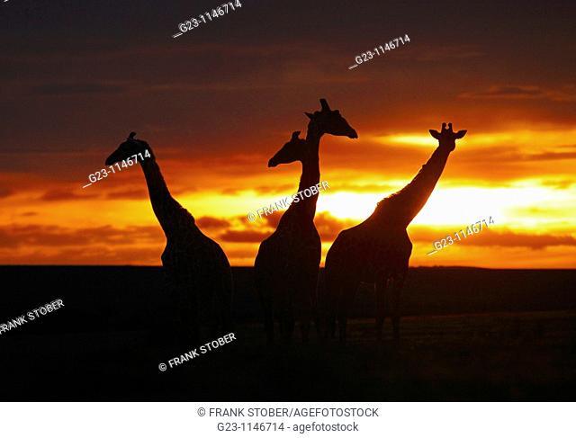 Sunset with giraffes, Masai Mara, Kenya