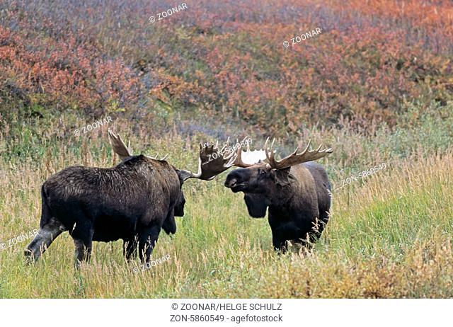 Bull Moose playfully fighting in the tundra