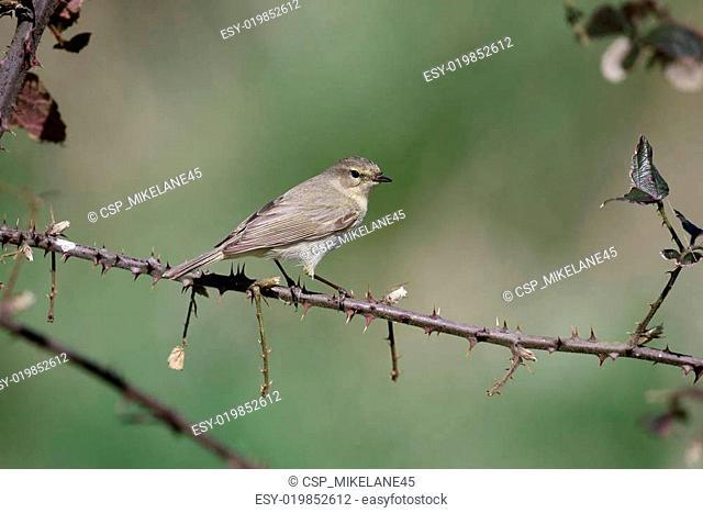 Chiffchaff, Phylloscopus collybita
