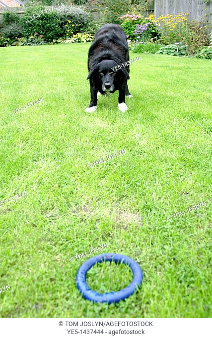 Border collie cross labrador dog playing with rubber toy in English garden
