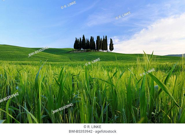 Italian cypress (Cupressus sempervirens), grove in a wide field landscape, Italy, Tuscany, Val d' Orcia, San Quirico d' Orcia