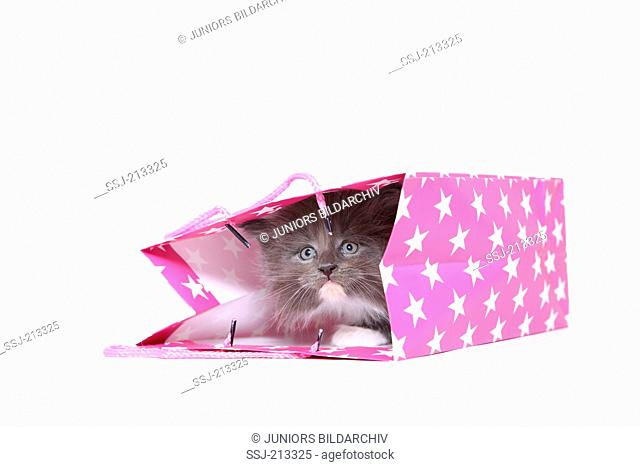 American Longhair, Maine Coon. Kitten (6 weeks old) hiding in a pink paper bag with white polka dots. Studio picture against a white background