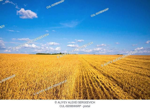 Field landscape of wheat field partly harvested