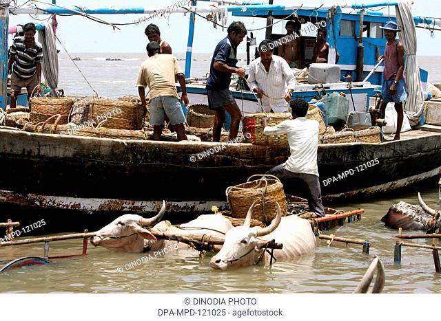 Local villagers took their bullock cart into the sea near 16th century Uderi fort built by Chhatrapati Shivaji Maharaj in Raigad district of Maharashtra ; India