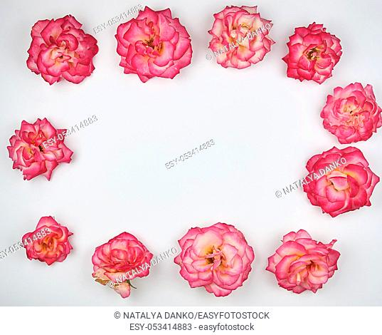 blooming buds of a pink rose are laid out rectangularly on a white background, top view, copy space