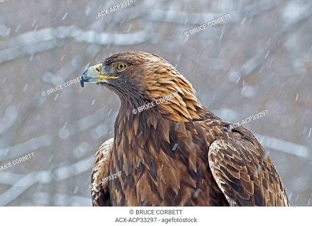 Close up profile of a Golden Eagle Aquila chrysaetos head