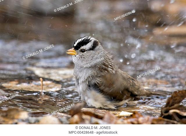 Adult white crowned sparrow Stock Photos and Images | age