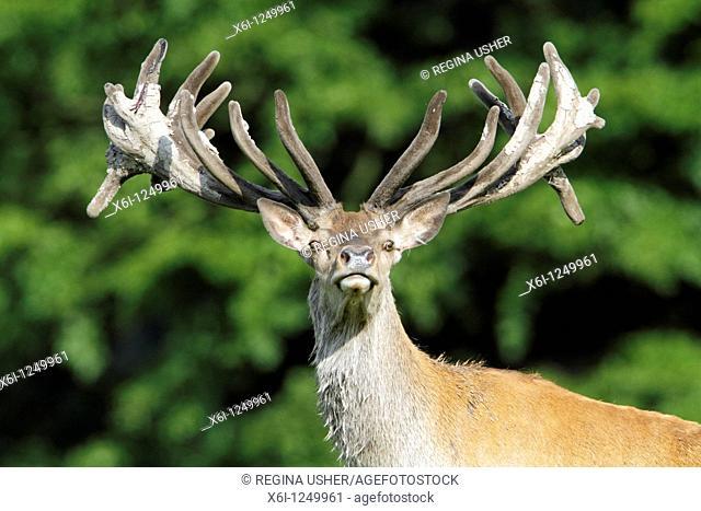 Red Deer Cervus elaphus, stag with velvet on antlers, alert, Germany