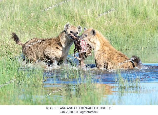 Spotted Hyena (Crocuta crocuta) two adults, fighting for food in water, Maasai Mara national reserve, Kenya