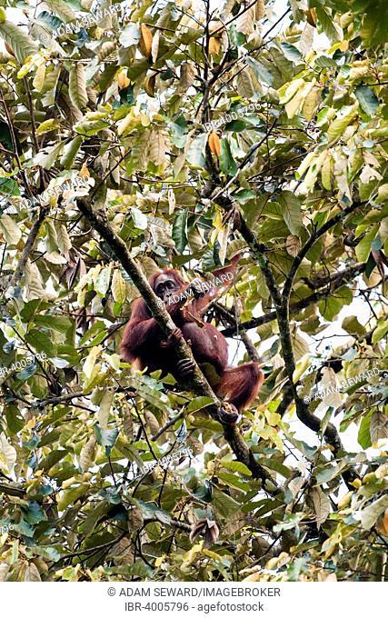 Bornean Orangutan (Pongo pygmaeus), female with infant feeding on leaves, Kinabatangan, Sabah, Malaysia, Borneo