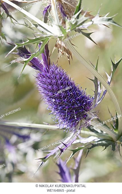 Leavenworth's eryngo (Eryngium leavenworthii). Known as Sea holly and Purple button-willow also