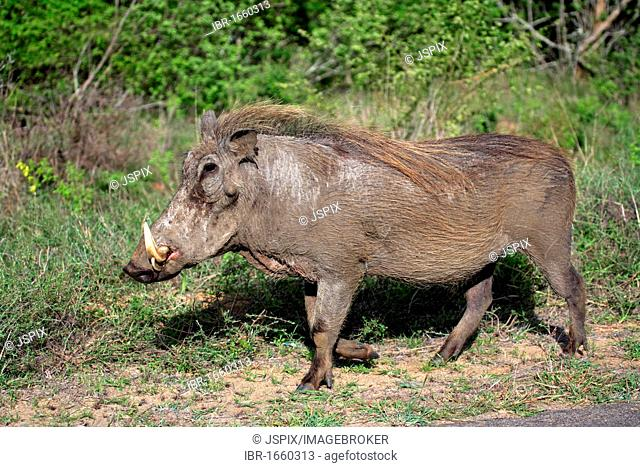 Desert Warthog (Phacochoerus aethiopicus), adult male, Kruger National Park, South Africa, Africa