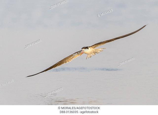 Africa, Southern Africa, Bostwana, Chobe i National Park, Chobe river, . African skimmer (Rynchops flavirostris), fishing