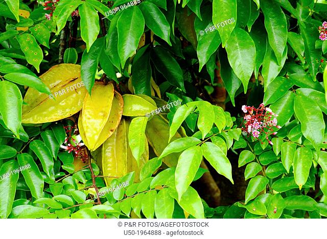 Star fruits tree. Averrhoa carambola, Oxalidaceae