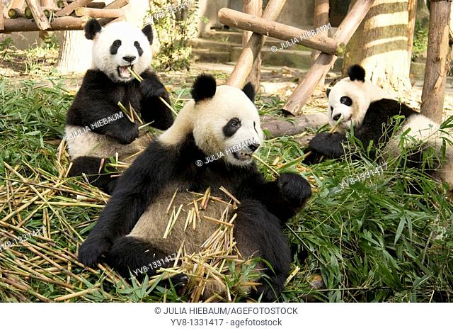 Three Panda bears inside Chengdu's research center in China