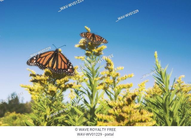 Monarch Butterflies on goldenrod Dartmouth, Nova Scotia