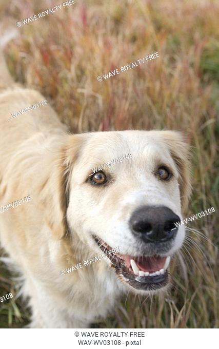 Tan coloured mixed breed dog standing on long autumn grass, Canada, Alberta